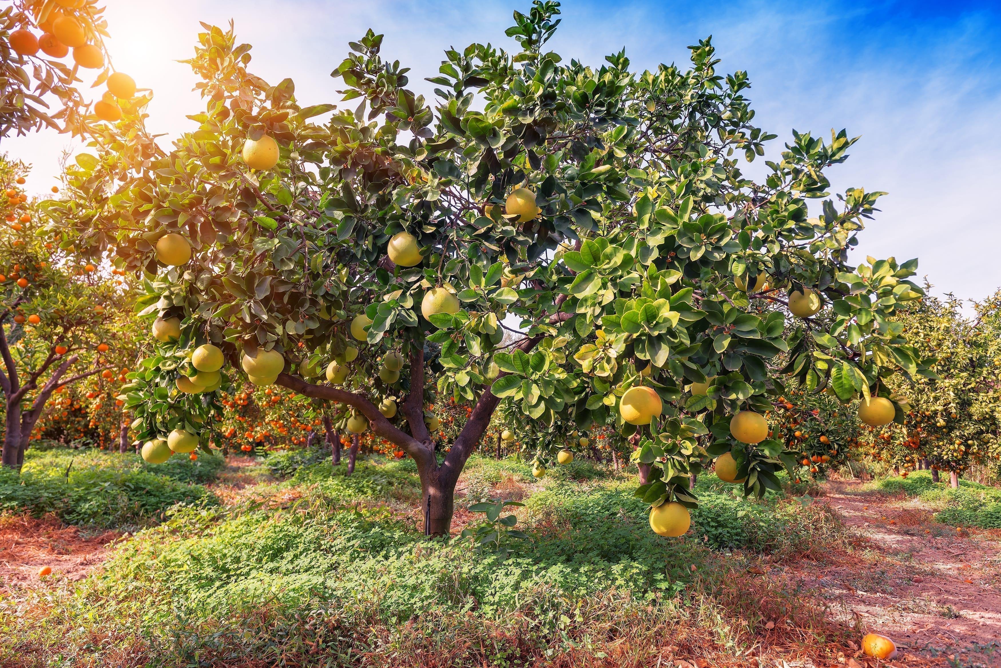 Reife Pomelo Früchte